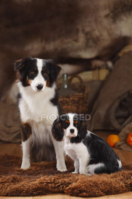 Pastore australiano e Cavalier King Charles Spaniel cucciolo seduto su pelle di pecora in fienile — Foto stock