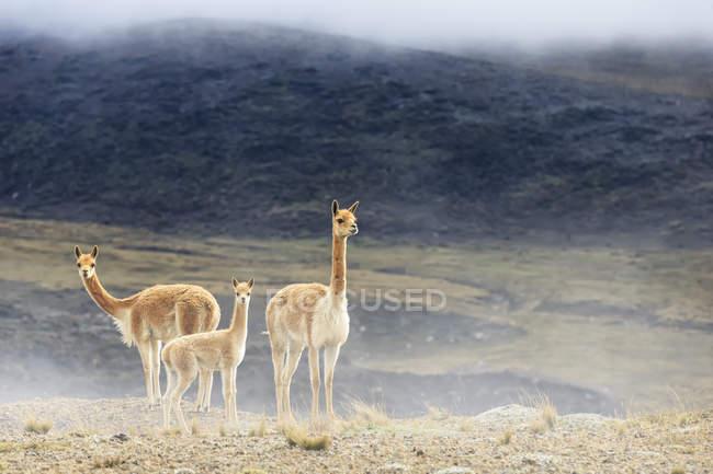 Ecuador, Chimborazo, Vicunas family on hill — стокове фото