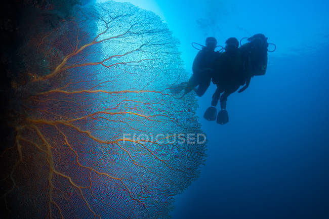 Pacific Ocean, Palau, scuba divers in coral reef with Giant Fan Coral — Stock Photo