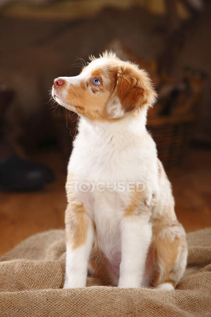 Miniature Australian Shepherd puppy sitting on sackcloth and looking up — Stock Photo