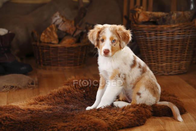 Miniature Australian Shepherd puppy sitting on fur blanket — Stock Photo