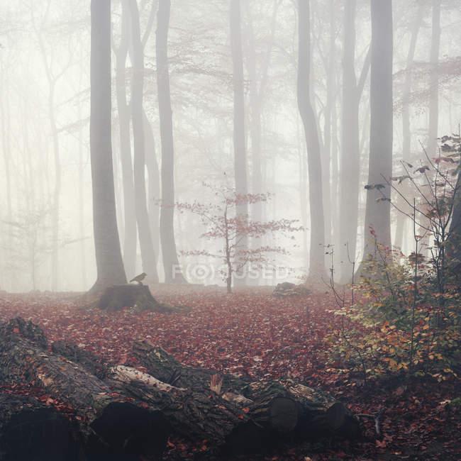 Alemanha, floresta de outono no nevoeiro — Fotografia de Stock
