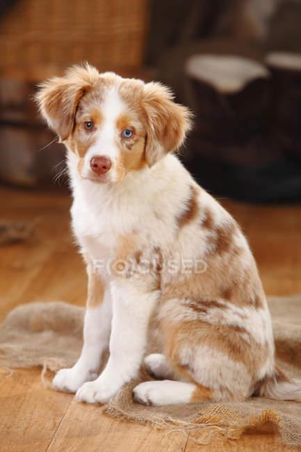 Miniature Australian Shepherd puppy sitting on sackcloth in barn — Stock Photo