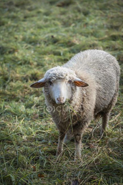 Pastoreo de ovejas en pastos herbáceos - foto de stock