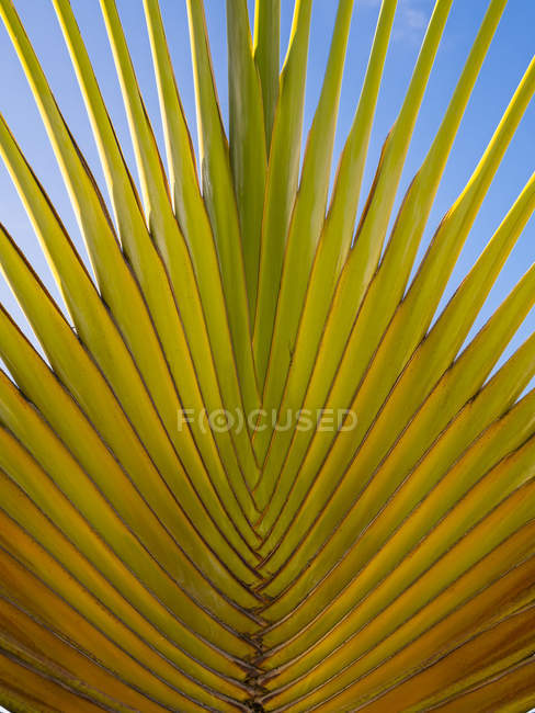 Карибского бассейна, Ямайка, Ранэвей-Бей, путешественник в ладони — стоковое фото