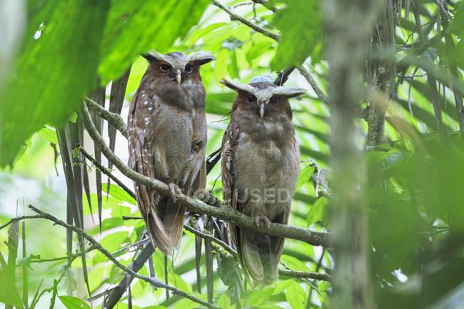 Дневной вид двух Хохлатый совы, сидя на ветке дерева — стоковое фото