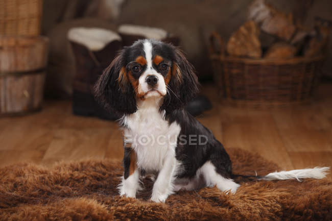 Cavalier King Charles Spaniel puppy sitting on sheepskin in barn — Stock Photo