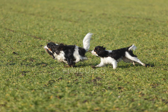 Two Cavalier King Charles Spaniels running on green meadow — Stock Photo
