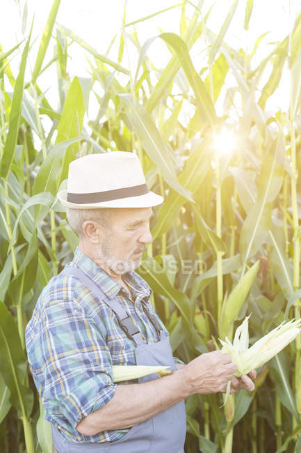 Landwirt Prüfung Mais im Feld — Stockfoto