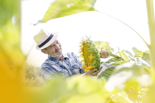 Lächelnde Bauer am Sonnenblumenfeld — Stockfoto