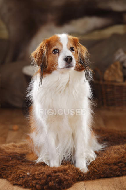Kooikerhondje собака, сидячи на овчини в сарай і дивлячись — стокове фото