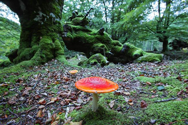 Agaric de mouche d'Espagne, parc naturel de Gorbea, dans la forêt de hêtre — Photo de stock