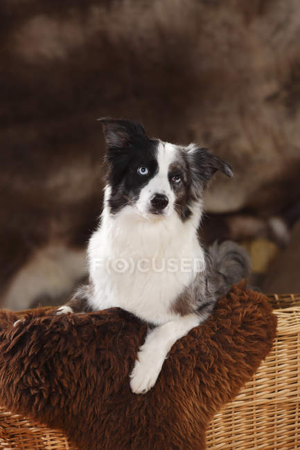 Miniature Australian Shepherd sitting in basket with sheepskin — Stock Photo