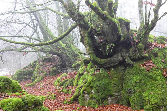 Испания, Урбаса-Андия природный парк, Мосс выросли деревья — стоковое фото