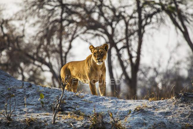Botswana, Okavango Delta, lioness hunting in natural habitat — Stock Photo