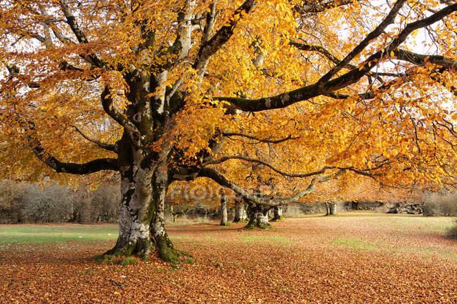 Alberi di Spagna, parco naturale di Urbasa-Andia, in autunno — Foto stock