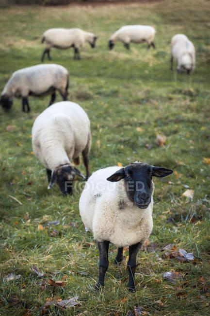 Gregge al pascolo delle pecore sul pascolo erboso — Foto stock