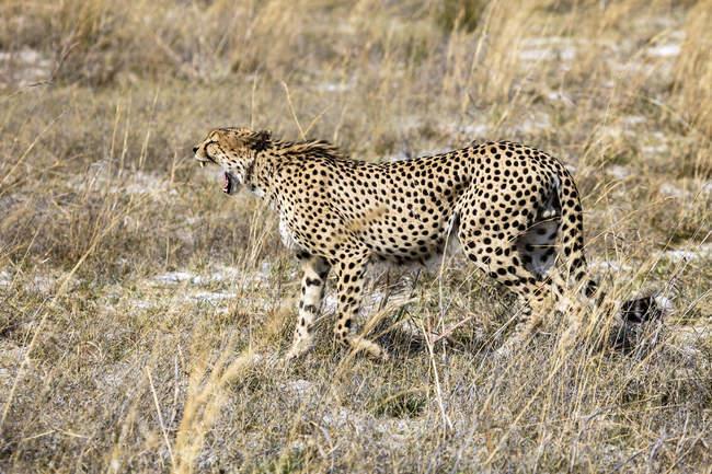 Caccia del ghepardo di Botswana, Okavango Delta, — Foto stock
