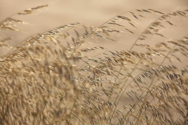 Португалія, напрямку Bordeira пляж, трави в підсвічування розмитість фону — стокове фото