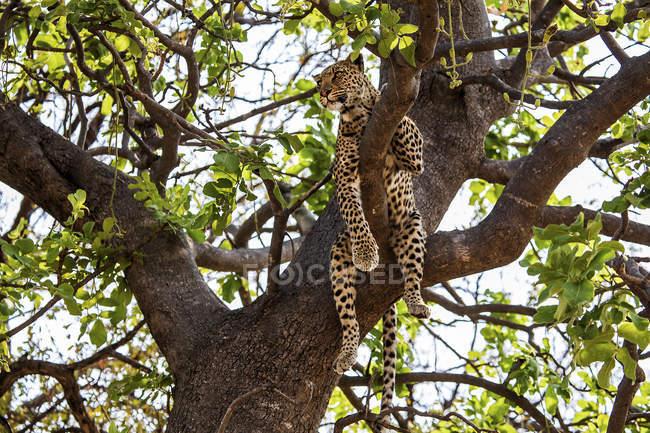 Leopardo deitado sobre galhos de árvores no dia, o Delta do Okavango, Botswana — Fotografia de Stock