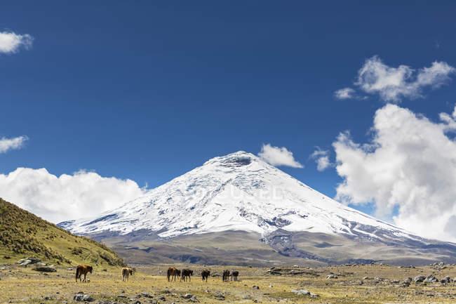 South America, Ecuador, Volcano Cotopaxi, Cotopaxi National Park, Wild horses in meadow — Stock Photo