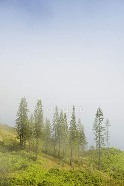 Stati Uniti d'America, Hawaii, Maui, Waihee Ridge Trail, Cook pini nella nebbia — Foto stock