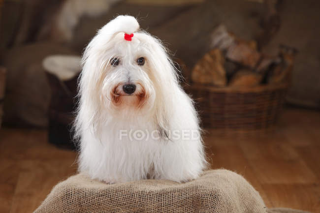 Coton de Tulear dog sitting on sackcloth in barn — Stock Photo