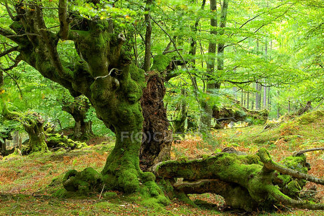 Spain, Gorbea Natural Park, Beech forest during daytime — Stock Photo