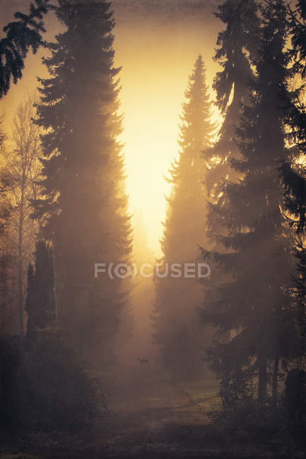 Scene with forest, roe deer and trees in backlight — Stock Photo