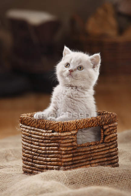 Pé de British Shorthair gatinho no cesto — Fotografia de Stock