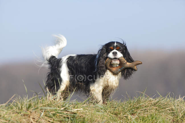 Cavalier King Charles Spaniel with toy in mouth standing on meadow — Stock Photo