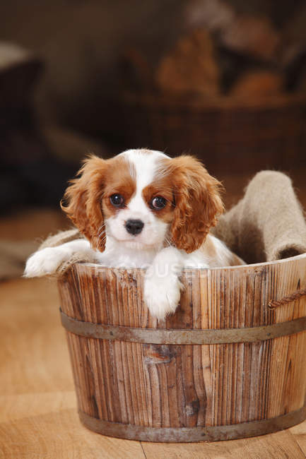 Cavalier King Charles Spaniel cucciolo seduto in vasca di legno in fienile — Foto stock