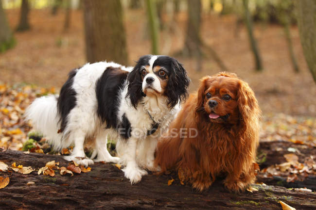 Two Cavalier King Charles Spaniels sitting on tree trunk in autumnal forest — Stock Photo