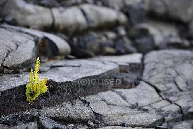 USA, Hawaii, Big Island, Volcanoes National Park, Farn, Polypodiopsida, wächst zwischen Lava Riss — Stockfoto