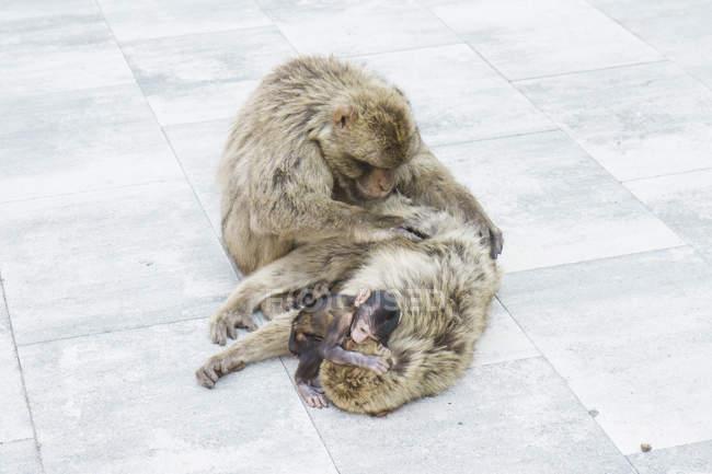 Coccole e delousing scimmia famiglia — Foto stock