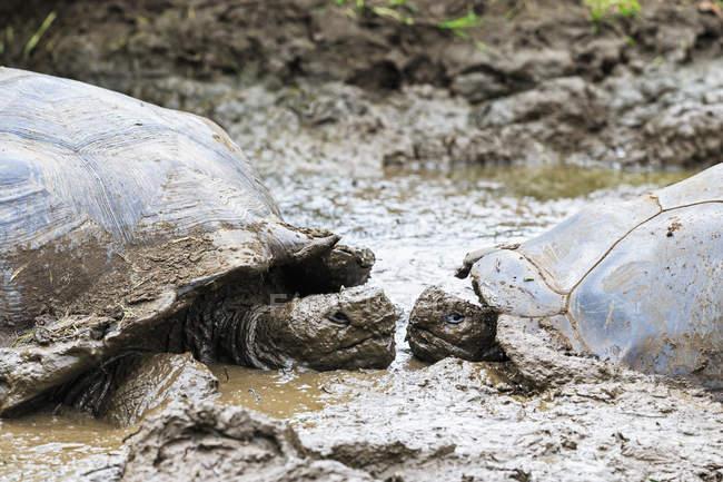 Вид збоку два Галапагоських черепах лицем до лиця в калюжі — стокове фото