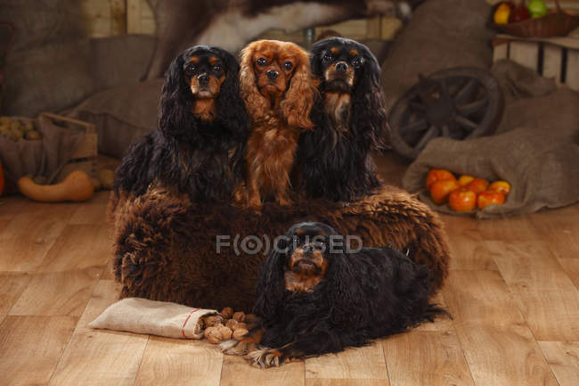 Cavalier King Charles Spaniels sitting in barn and looking at camera — Stock Photo