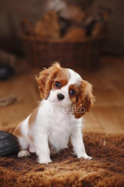 Cavalier King Charles Spaniel puppy sitting on sheepskin in barn — Stock Photo