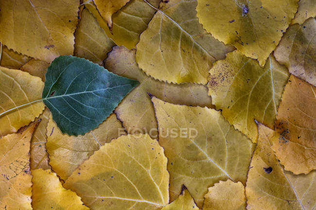 Polar leaves in autumn during daytime — Stock Photo