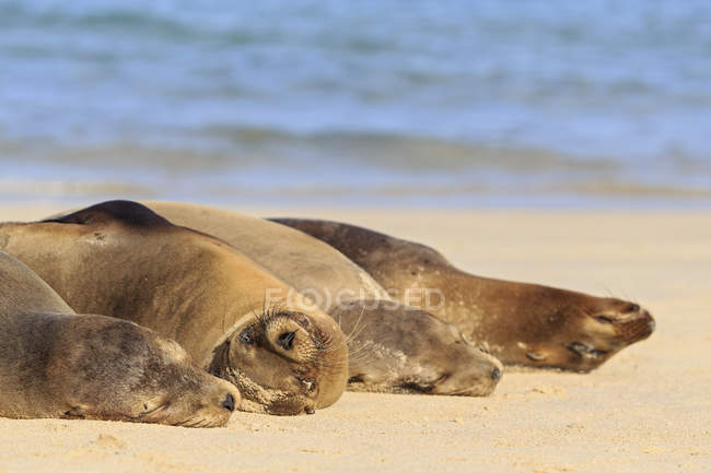 Four sea lions sleeping on beach at seafront — Stock Photo