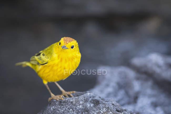 Vue de jour rapprochée de la paruline jaune sur pierre — Photo de stock
