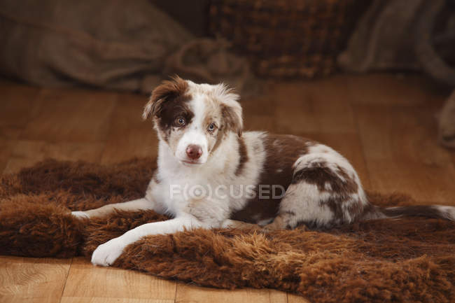 Australian Shepherd puppy lying on sheepskin in barn — Stock Photo