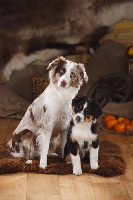 Perrita Pastor Australiano y cachorro sentado sobre piel de oveja en granero - foto de stock
