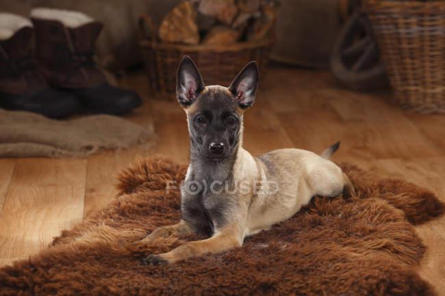 Belgian Malinois puppy lying on sheepskin in barn — Stock Photo