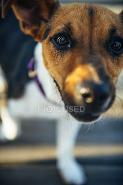 Gros plan de Jack Russell Terrier regardant la caméra — Photo de stock