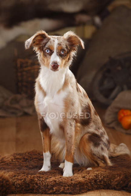 Australian Shepherd assis sur couverture de fourrure — Photo de stock