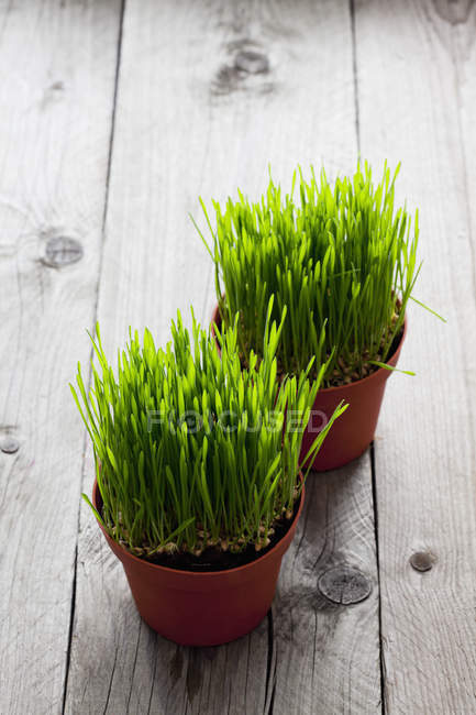 Two flowerpots of cat grass — Stock Photo