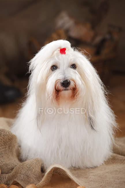 Close-up of Coton de Tulear lying on sackcloth in barn — Stock Photo