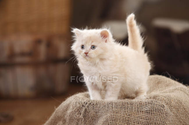 Британська довгошерста кішка кошеня стоячи на оперезана — стокове фото