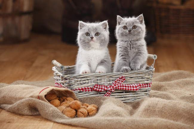 British Shorthair gattini seduti nel cestino nel fienile — Foto stock